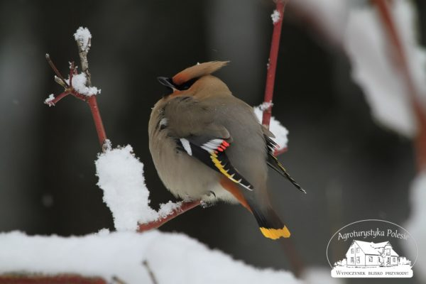 Zimą - jemiołuszka
